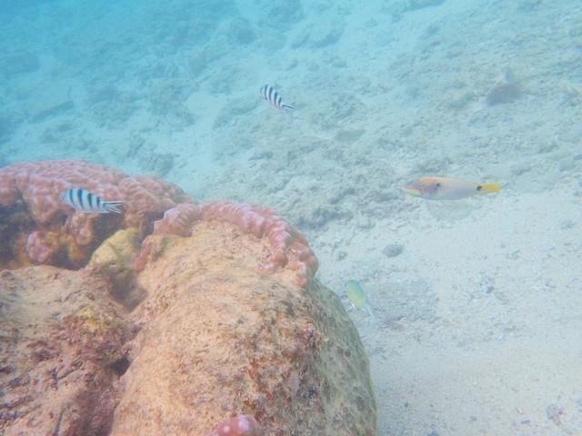 吉野海岸 熱帯魚 シュノーケリング